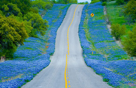 Bluebonnets along Texas Highway